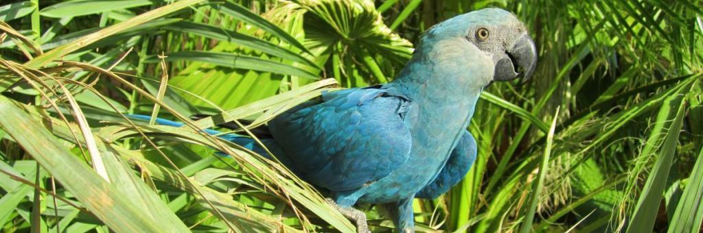 [Bon à savoir]  Une espèce ordinaire inspirée par le film de Rio, disparaissant dans la nature